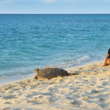 Turtle heading for the water on Heron Island
