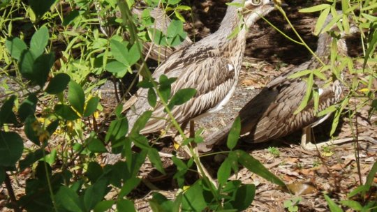Curlew, Cape Hillsborough, Mackay Region