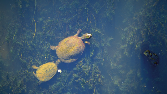 Turtles in creek, Mackay Region