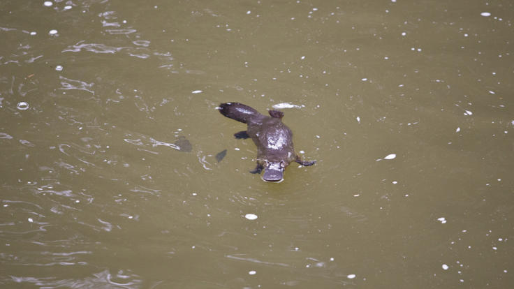 The elusive platypus, Eungella National Park