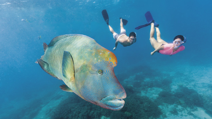 Wally the Giant Maori Wrasse, Moore Reef Great Barrier Reef Cairns