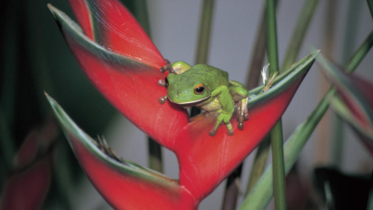Green tree frog, Daintree