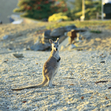Wallaby on the beach, Daydream Island