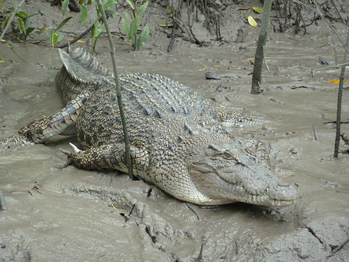 Crocodile, Proserpine River, Whitsundays