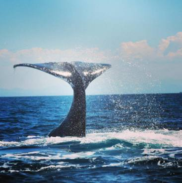 Whale watching, Great Keppel Island
