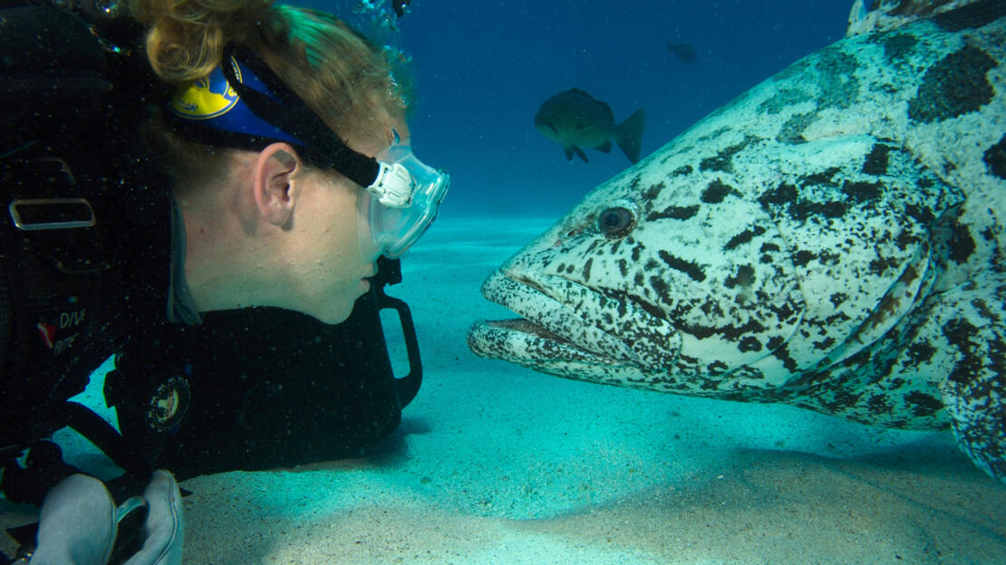 Barrier Reef Australia: Scuba diver and Potato Cod at the Cod Hole