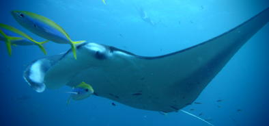 Magnificent Manta Rays on the Great Barrier Reef in Australia
