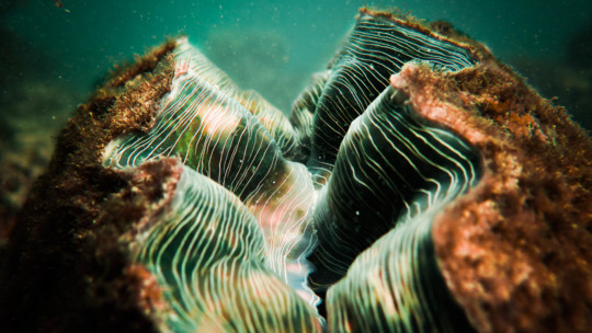 Giant Clam, Great Barrier Reef