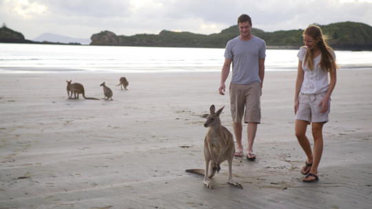 Kangaroos on the beach, Cape Hillsborough